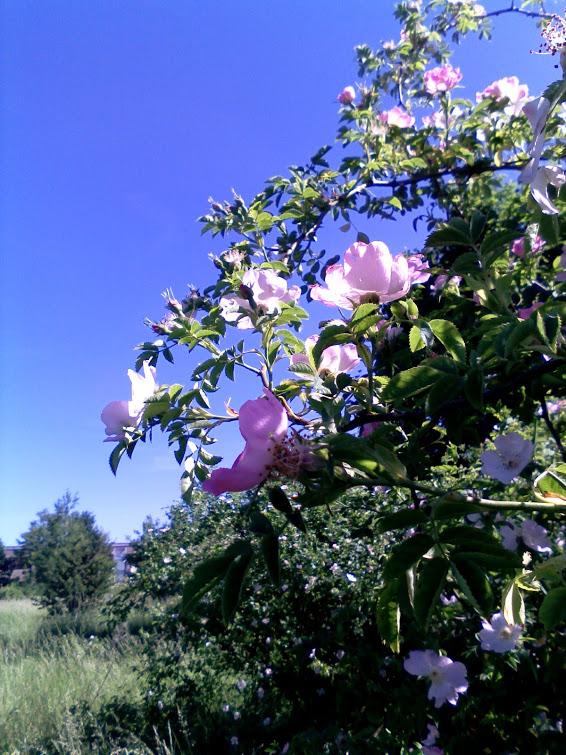 Rose - Rosa canina